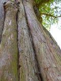 Alte schroffe und moosige Barke auf einem Baum mit mehrfachen Stämmen Lizenzfreies Stockbild