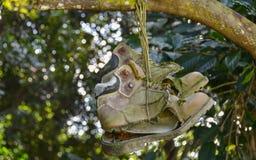 Alte Schuhe, die an einem Baum hängen lizenzfreies stockbild