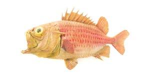 Alte Soldatfische lokalisiert auf Weiß stockfoto