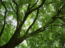 Alte sonnenbeschiene Baumaste von unterhalb Stockbilder