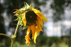 Alte Sonnenblume stockbilder