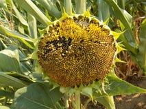 Alte Sonnenblume Lizenzfreie Stockbilder
