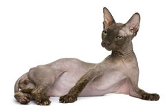 Alte Sphynx Katze, 12 Jahre alt Lizenzfreie Stockfotos