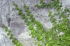 Alte Steinwand bedeckt mit grünem Efeu Lizenzfreies Stockfoto