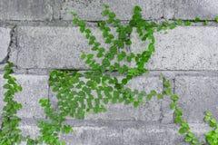 Alte Steinwand bedeckt mit grünem Efeu Lizenzfreie Stockfotos