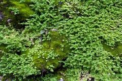 Alte Steinwand mit Blättern und Moos Stockbild