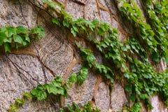Alte Steinwand mit dem Kriechen Ivt Stockfotos