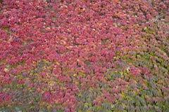 Alte Steinwand mit roten Herbstniederlassungen Lizenzfreie Stockbilder