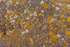 Alte Steinwandbeschaffenheit mit Moos auf ihm Gelbmoos Lizenzfreie Stockbilder