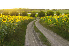 Alte Straße nahe Sonnenblumenfeld Lizenzfreies Stockfoto