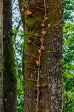 alte tote Rebe, die Baumstamm anhaftet stockbilder