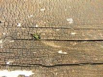 Alte trockene hölzerne Beschaffenheit mit den Sprüngen und kleinem Gras, die auf die Oberseite wachsen Stockfotografie