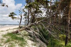Alte trockene Kiefer auf dem Strand Lizenzfreies Stockbild