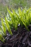 Alte und frische Blätter des Rotwild-Farns. Stockfoto