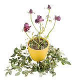 Alte und hässliche trockene Rosen vom Hintergrund Stockfoto
