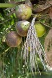 Alte und junge Kokosnussfrucht Stockfotografie