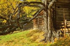 Alte und knorrige Birke vor Klotzhütte in Gallejaur in Norrbotten, Schweden lizenzfreie stockbilder