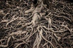 Alte und unordentliche Baumwurzeln lizenzfreies stockbild
