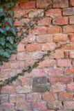 Alte verwitterte Backsteinmauer mit grünem Efeu Lizenzfreie Stockbilder