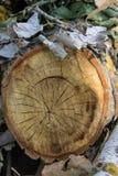 Alte verwitterte hölzerne Beschaffenheit der Baumringe mit dem Querschnitt Stockfotografie