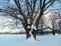Alte verzweigte Eiche im festlichen Schneekleid an mit leichtem blauem Himmel im Hintergrund Stockfoto