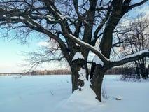 Alte verzweigte Eiche im festlichen Schneekleid an mit leichtem blauem Himmel im Hintergrund Lizenzfreie Stockbilder