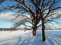 Alte verzweigte Eiche im festlichen Schneekleid an mit leichtem blauem Himmel im Hintergrund Stockbilder