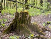 Alte Waldstumpfbarke bedeckt durch Moos Lizenzfreie Stockfotografie