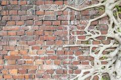 Alte Wand der roten Backsteine mit Baumwurzeln Stockbilder