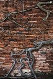 Alte Wand des roten Backsteins, Teil des buddhistischen Tempels ruiniert mit wachsender Banyanbaumwurzel Stockfotografie