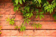Alte Wand des roten Backsteins verziert mit lebhaftgrünpflanze, Nahaufnahme Beschaffenheit, Hintergrund Stockfotos