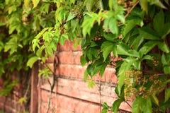 Alte Wand des roten Backsteins verziert mit lebhaftgrünpflanze, Nahaufnahme Beschaffenheit, Hintergrund Lizenzfreie Stockbilder