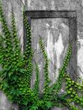 Alte Wand mit Efeu Lizenzfreies Stockfoto