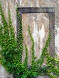 Alte Wand mit Efeu Stockbilder