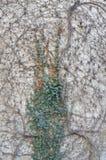 Alte Wand mit Efeu Stockfotografie