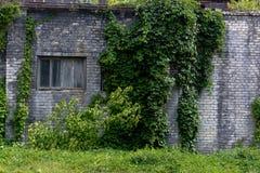 Alte Wand mit Efeuanlage Stockfotografie