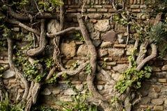 Alte Wand mit Reben Stockfoto