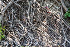 Alte Wand mit wachsenden Banyanbaumwurzeln Lizenzfreies Stockbild