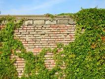 Alte Wand und Kriechpflanze lizenzfreie stockfotografie