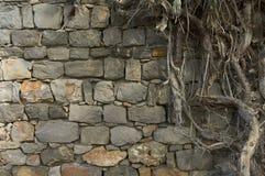 Alte Wand und Wurzeln Stockfoto