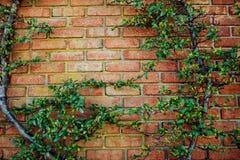 Alte Wandbeschaffenheit des roten Backsteins und grünes Blatt, die unten an ihm am Rand hängt Kopieren Sie Raumhintergrund Kunst  Lizenzfreie Stockfotos
