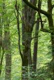 Alte Weißbuchebäume im Frühjahrwald Stockbild