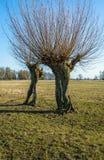 Alte Weidenbäume in der Wiese Stockfotografie