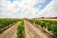 Alte Weinberge mit roten Weinreben in der Alentejo-Weinregion nahe Evora, Portugal Stockbild