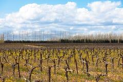 Alte Weinrebe Lizenzfreie Stockfotos