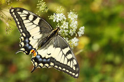 Alte Welt Swallowtail Lizenzfreie Stockfotos