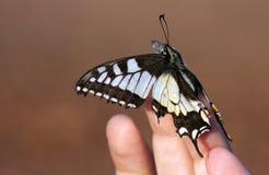 Alte Welt Swallowtail Stockfotos