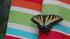 Alte Welt Swallowtail Basisrecheneinheit stock footage