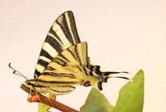 Alte Welt Swallowtail Basisrecheneinheit auf einem Zweig Lizenzfreie Stockfotos