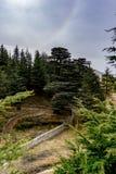 Alte Zedernwaldung im Libanon lizenzfreies stockfoto
